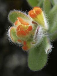 wildflower at Mendocino, California