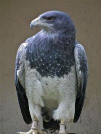 Grey Eagle-buzzard