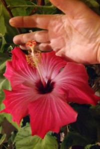 Home grown Hibiscus
