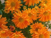 flores laranjas