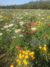 Wild flowers in a meadow in Oxfordshire