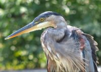 Great Blue Heron, Green Spring Garden Park, 2013