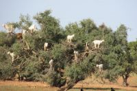 Morocco - goats in tree