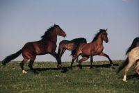 PRYOR MOUNTAIN HORSES  2005