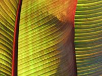 Red Banana Leaf Plant