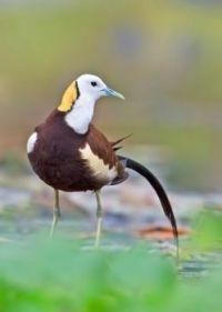 Pheasant-tailed-jacana by Prasanna AV