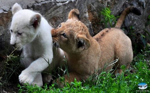 Lion cubs in Belgrade zoo