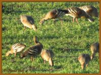 Wandering Whistling Duck.