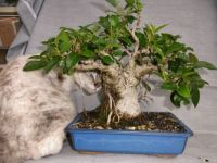 Devon Rex Diva and Port Jackson Fig Bonsai