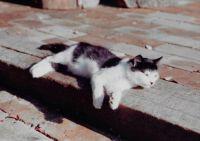 Sammy when a kitten 1982