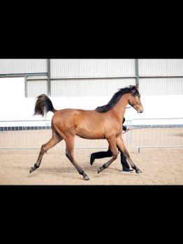 Arab yearling Colt