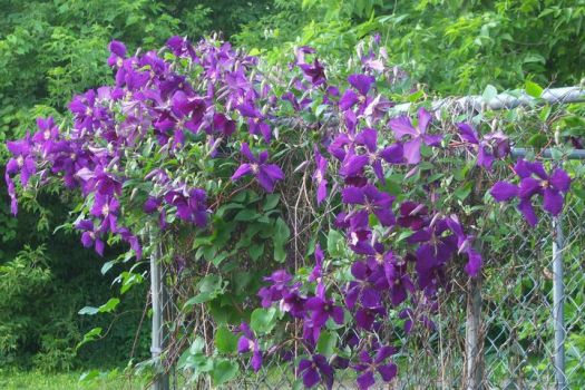 Clematis for Texasstar