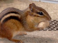 Hoover the Chipmunk
