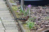 Male Chaffinch in our garden