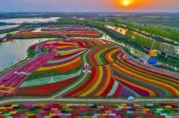 Holland's sea of flowers