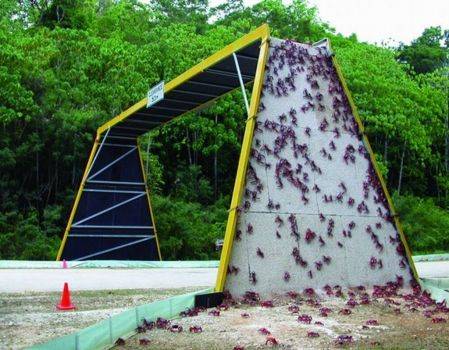 Red crabs climbing over a purpose built overpass to cross a road on Christmas Island