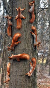 Red squirrel congregation.
