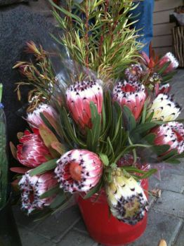 Proteas.. Red ones are Mayfair. Cream ones are Cream Mink..