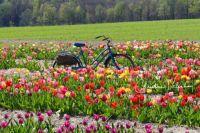 Tiptoe (or ride) through the Tulips