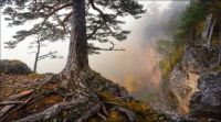 Pine tree in the mist