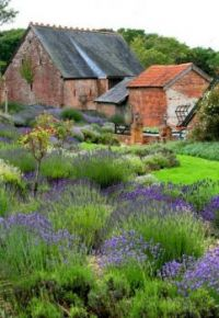 Lavender in England