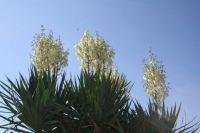 Yucca in meinem Garten