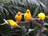 Singapore_Parrots