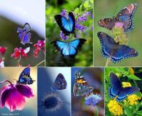 Mange of Butterflies