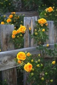 Yellow Roses by an Old Wooden Fence