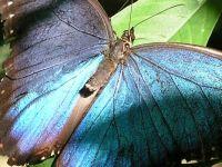 Blue Morpho medium
