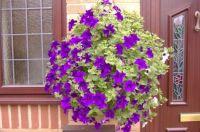 Garden - Sarah's Hanging Baskets - Front Garden