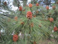 Pine pollen cones