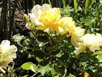 IMG_0152 Vineyard Roses