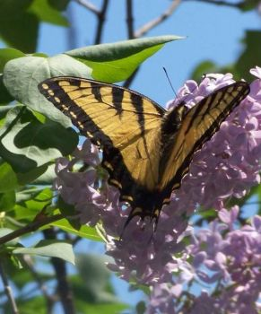 Yellow Butterfly on Lilac (large)