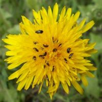 Meligethes aeneus on dandelion