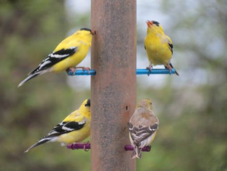 Goldfinches Eating Thistle Seed