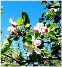 Květy jabloně--