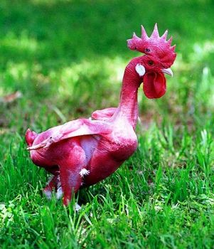Featherless Chook