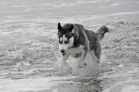 Siberian Husky running intensely in the surf
