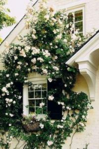 Window framed by roses. . . . . . .