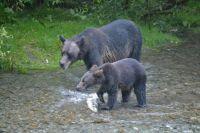 Momma grizzley & cub, Fish Creek, Hyder, AK