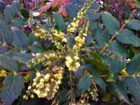 Winter flowers on Mahonia