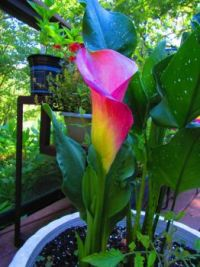 CALLA LILY IN  LOVELY COLORS