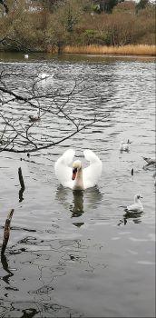 Swan at Swanpool
