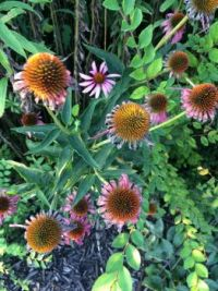 echinacea constellation--medium