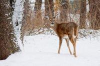 Deer in the Winter Woods