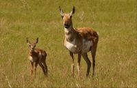 Mom & Baby Pronghorn