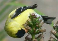 Hungry Goldfinch