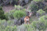 Mule Deer Doe near Panguitch Lake UT