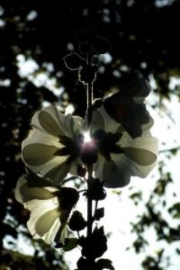 Hollyhocks in backlight